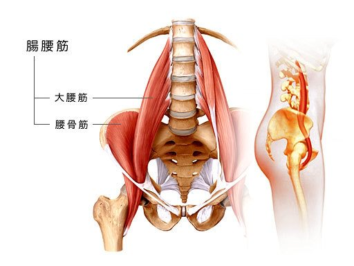 腸腰筋の画像